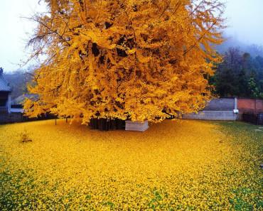 Un Copac Ginkgo Biloba